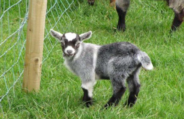 A goat at BLackwater open farm